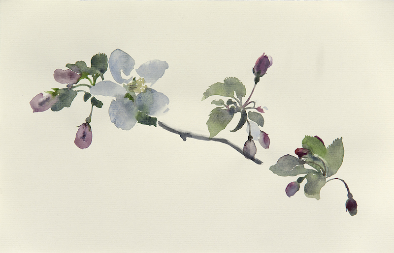 "Artist: Wendy Artin  Title:Crab Apple Branch  Date: 2016  Size: 7 3/4"" x 11 3/4""  Method: Watercolor  Price:  Inquire"