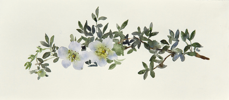 "Artist: Wendy Artin  Title: White Flowers  Date: 2017  Size: 5 1/5"" x 11""  Method: Watercolor  Price:  Inquire"