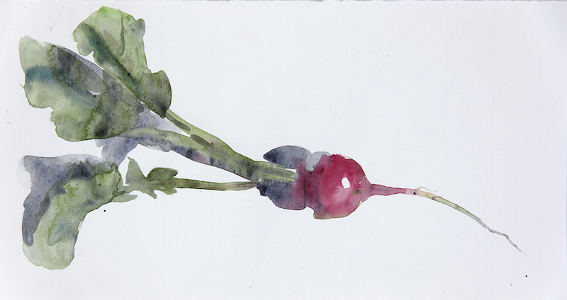 "Artist: Wendy Artin  Title: Radish Sketch  Date: 2017  Size: 7"" x 12""  Method: Watercolor  Price:  Inquire"