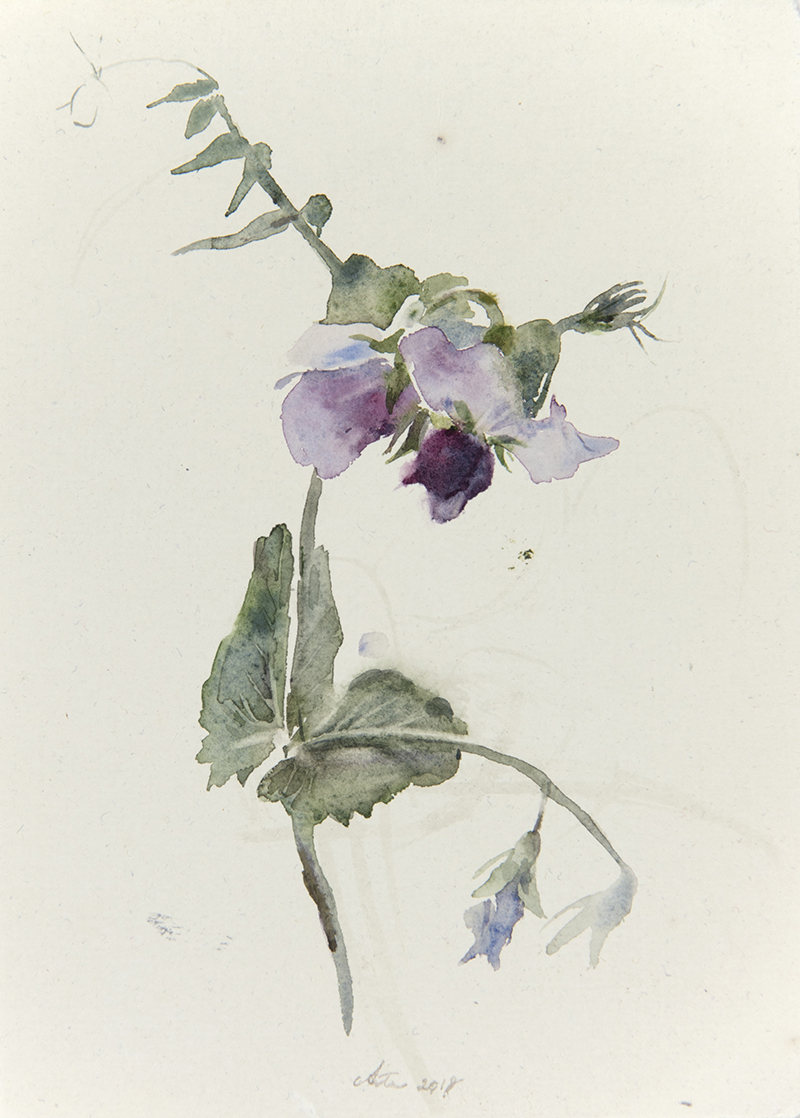 "Artist: Wendy Artin  Title: Wild Peas 2  Date: 2018  Size: 5.5"" x 7.9""  Method: Watercolor  Price:  Inquire"