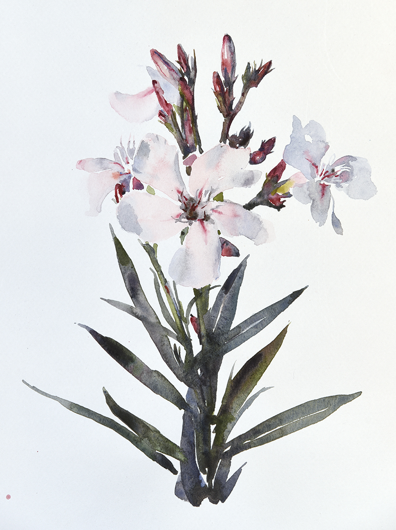 "Artist: Wendy Artin  Title: Oleander  Date: 2017  Size: 10"" x 12""  Method: Watercolor  Price:  Inquire"