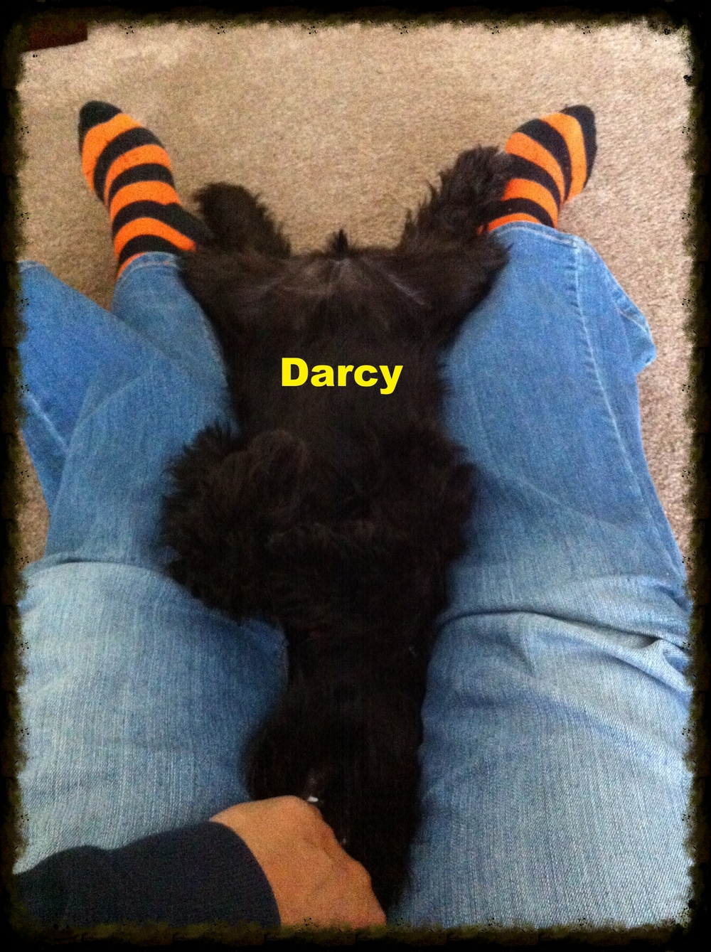 Upside down Darcy resting between my legs!