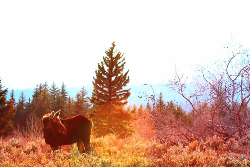 IMG_9975x moose.jpg