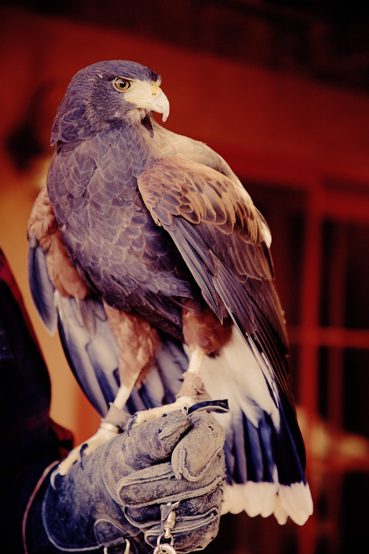 IMG_6350_x falcon*.jpg
