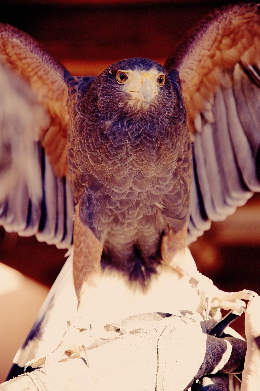 IMG_6358_x falcon.jpg