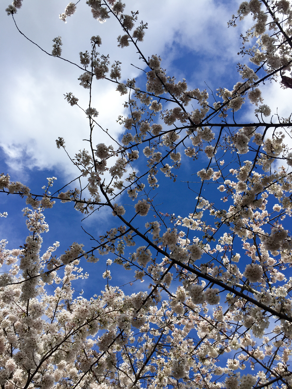 Since Yesterday - UW Cherry Blossoms