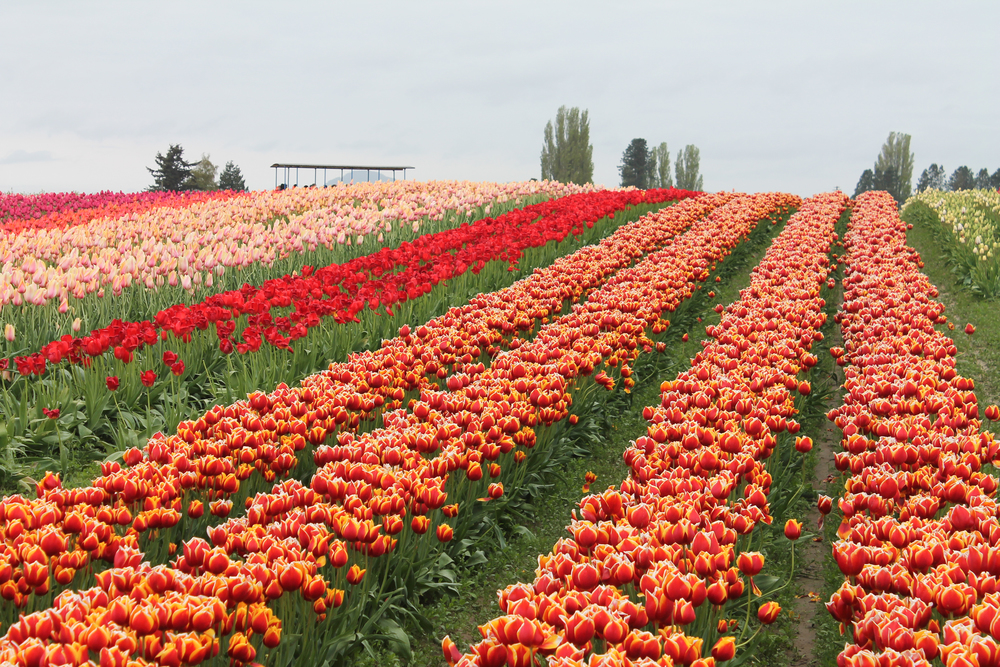 Since Yesterday - Tulip Town 2016