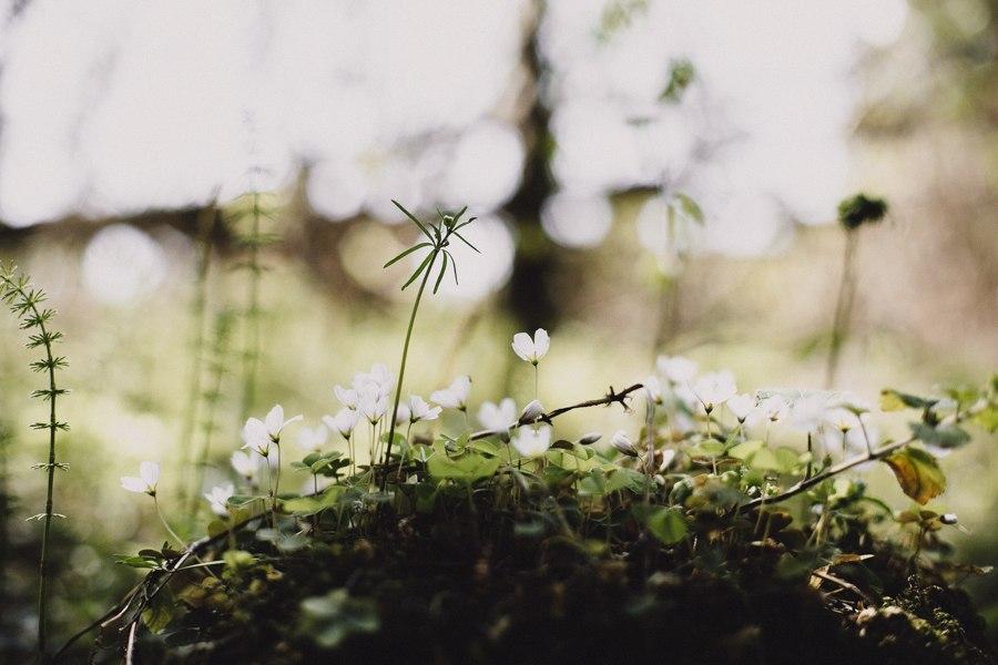 Wild forest clover..