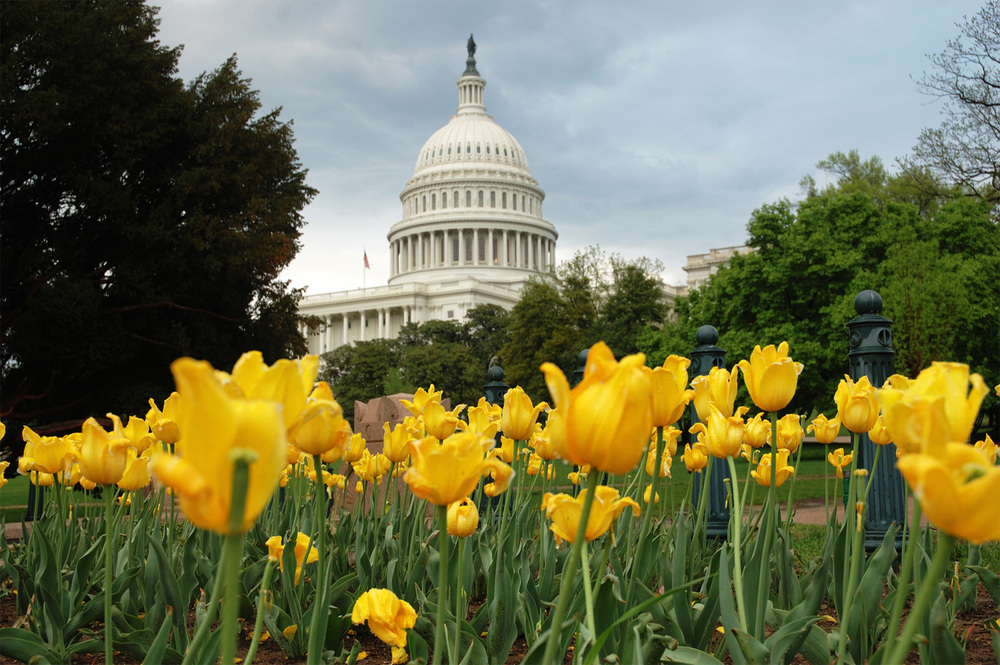 us-capitol-in-washington-dc-with-yellow-tulips.jpg