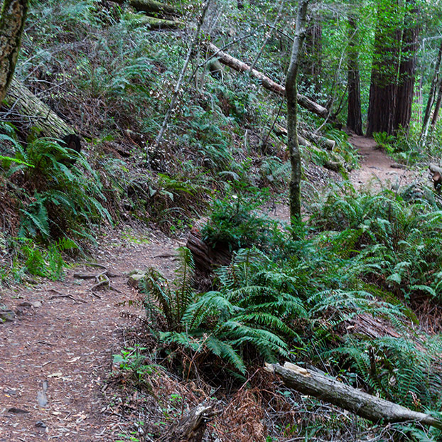 WInding Path Redwoods Web.jpg