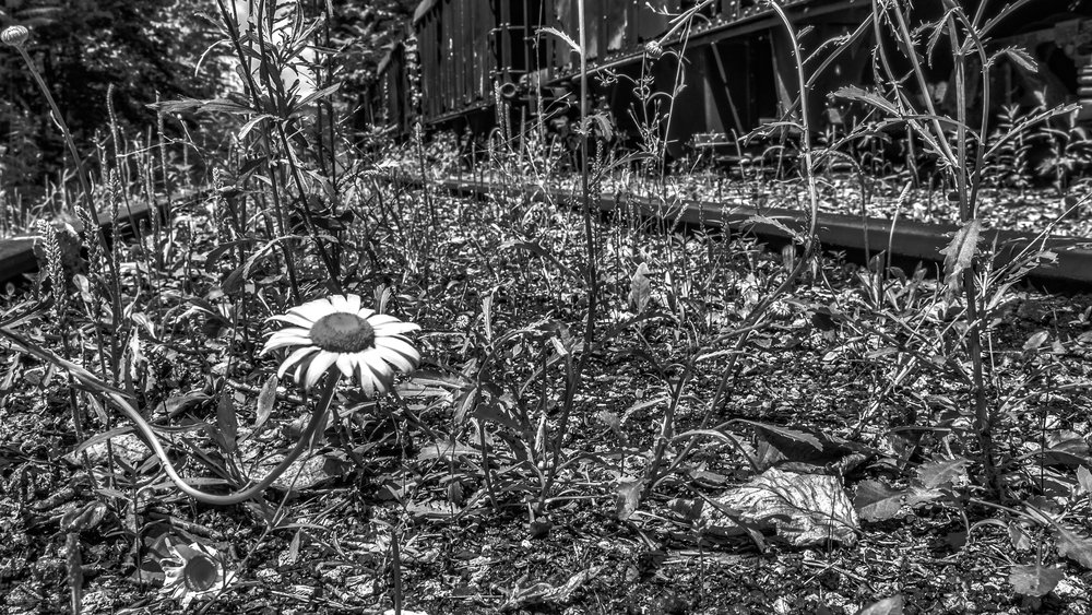 Rockhill Furnace Daisy.  (Category:  B&W Portrait:  Flower).  Third place ribbon.