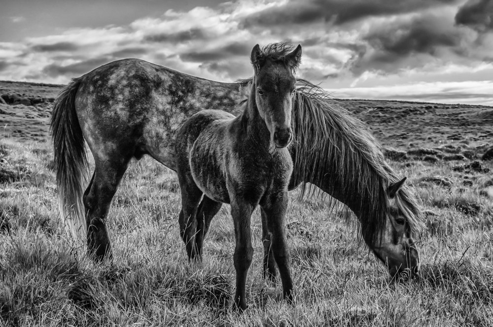 Safely Curious (Icelandic Foal and Mother).   (Category: Portraits, animal, B&W)         First Place Ribbon