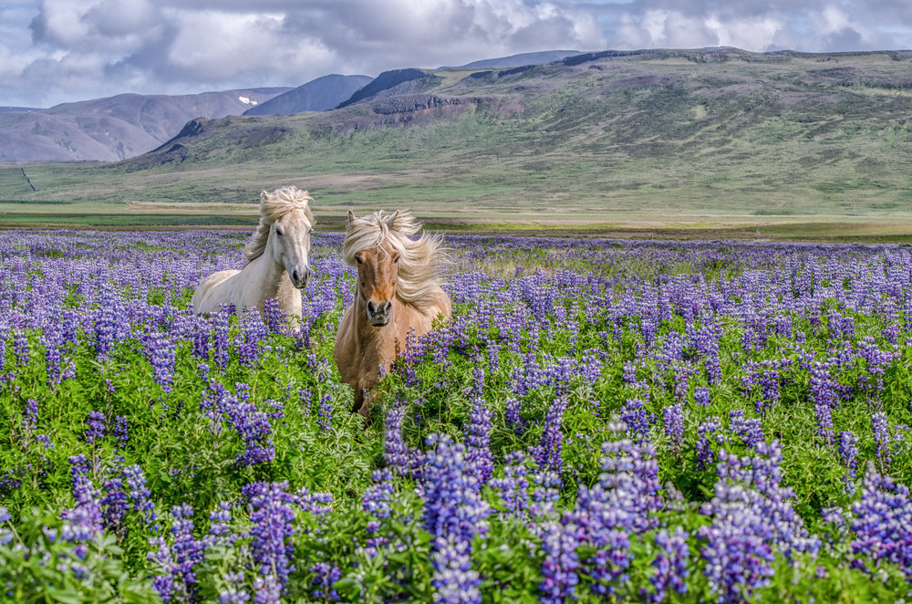 Two Horses in Lupin Field  (Category:  Color Animals)        First Place Ribbon &  Best in show