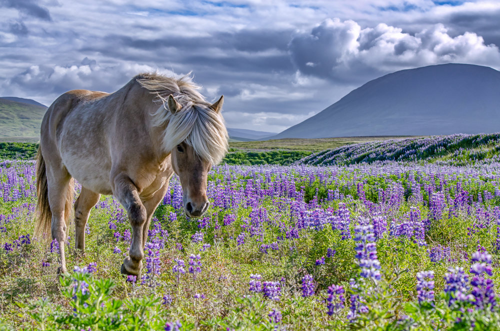 Icelandic Horse in Lupin Field.  (Category: Portraits, animal, Color)         First Place Ribbon & Best in Show