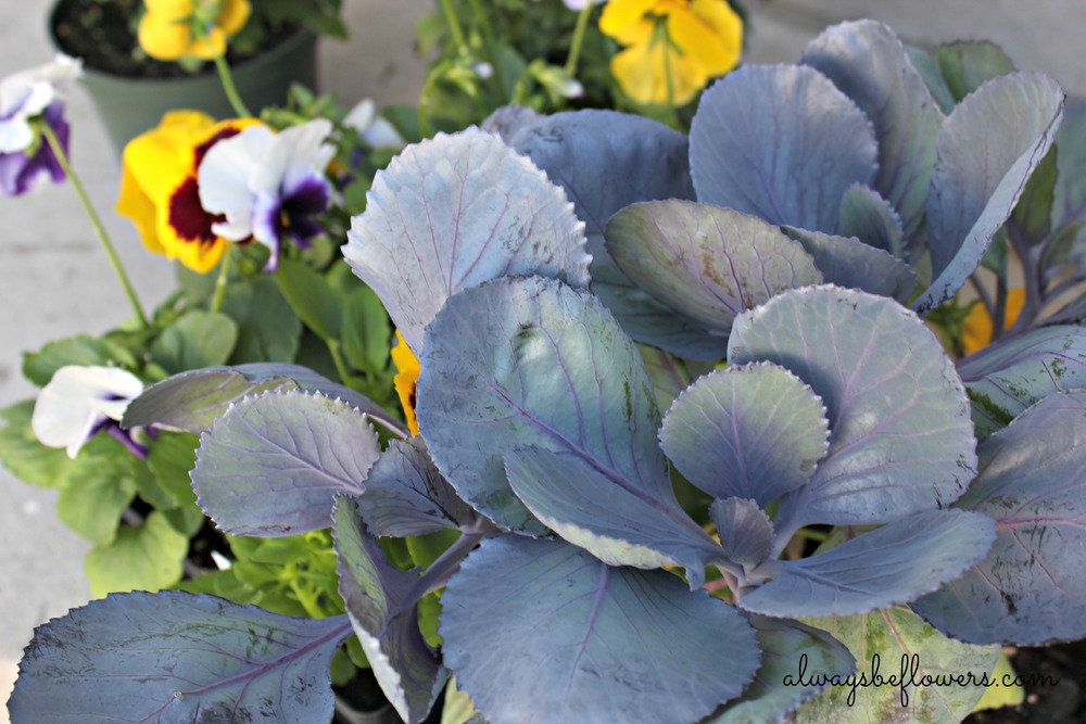 I love the color of cabbage and use regular cabbage, which is far cheaper than ornamental cabbage.