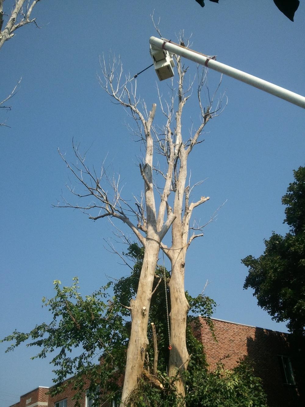 ABATTAGE | Nous ne COUPONS pas dans le service / Nous COUPONS vos arbres