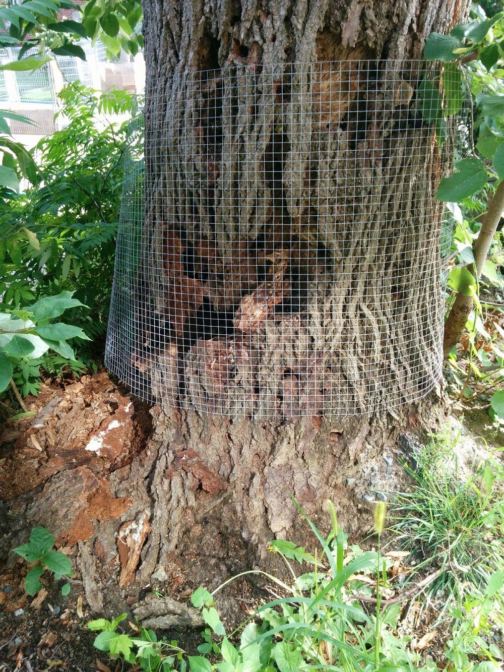 Tilleul dangereux : la base de l'arbre était lourdement endommagé et pourri à l'intérieur