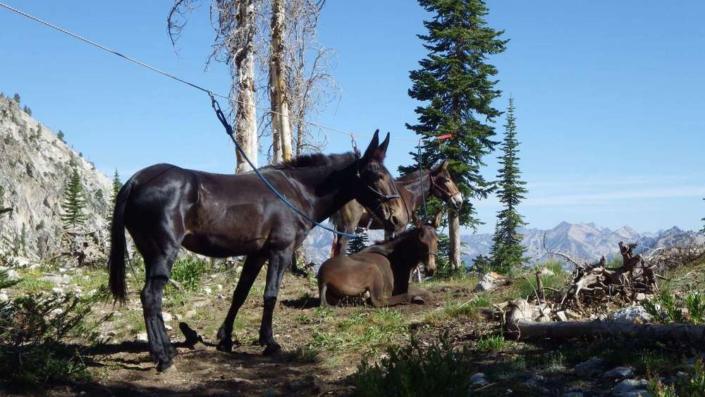 Sawtooth Idaho Mules