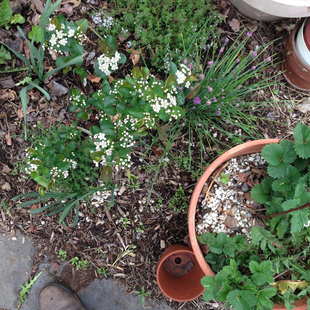 Aronia flowers.JPG