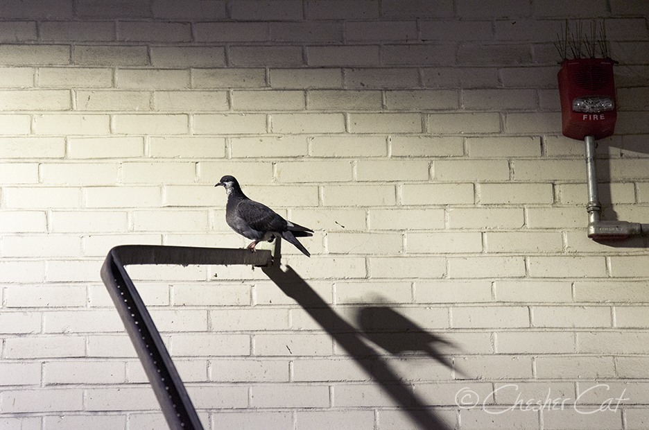 Pigeon Alert, 2018 Shot on Nikon D7000 8/3/18 Posted 08/10/2018