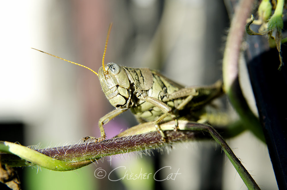Grasshopper, 2018 Shot on Nikon D7000 9/3/18 Posted 09/03/2018