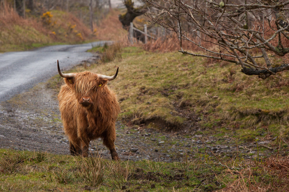 "These guys, known by the locals as ""Hairy Coos"" were everywhere, freely roaming, and quickly became my favourite thing about Scotland. (Also the sheep...the sheep were like our deer...EVERYWHERE.)"