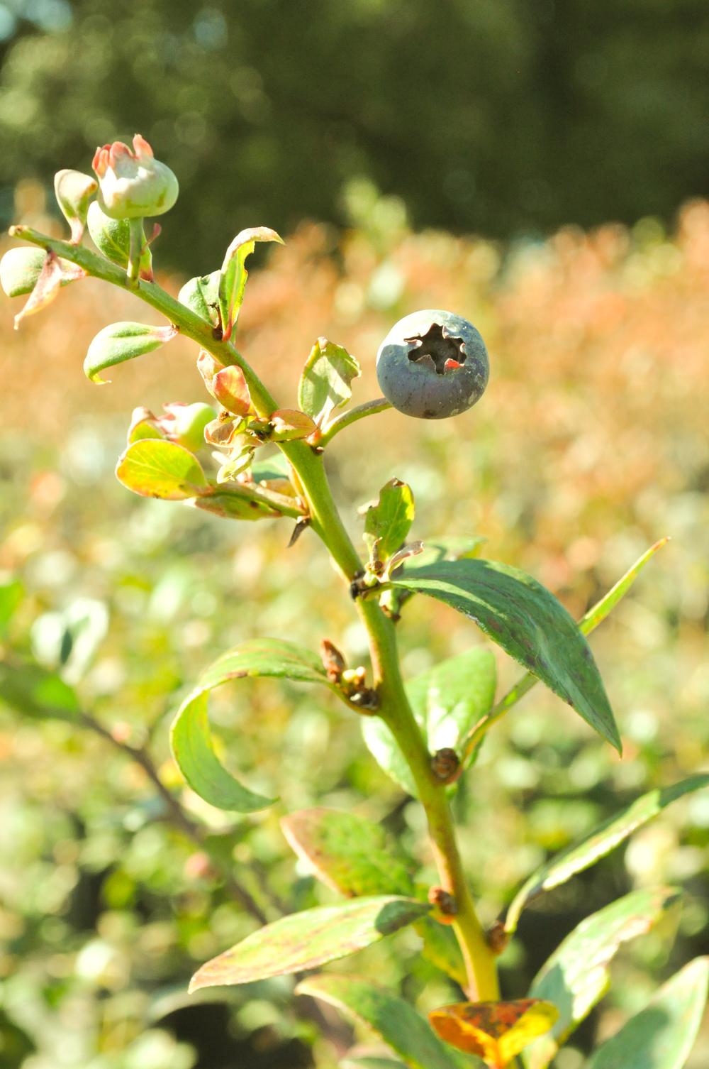 blueberry-737.jpg