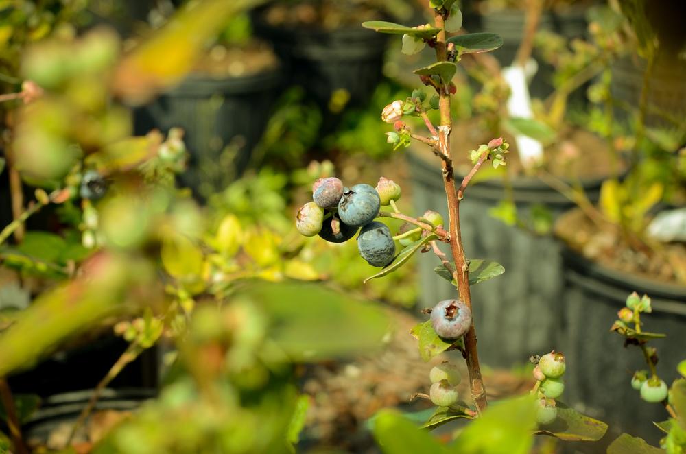 blueberry-078.jpg