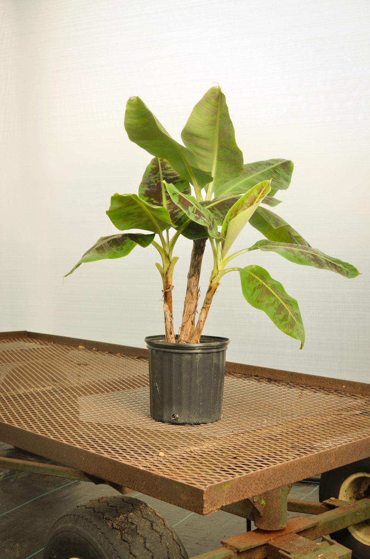 Banana Dwarf Cavendish-9355.jpg