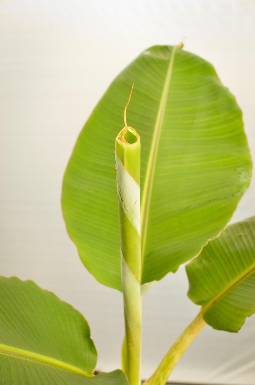 Banana Dwarf Goldfinger-9352.jpg
