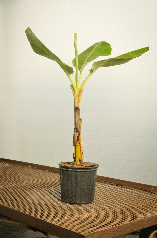 Banana Dwarf Goldfinger-9350.jpg