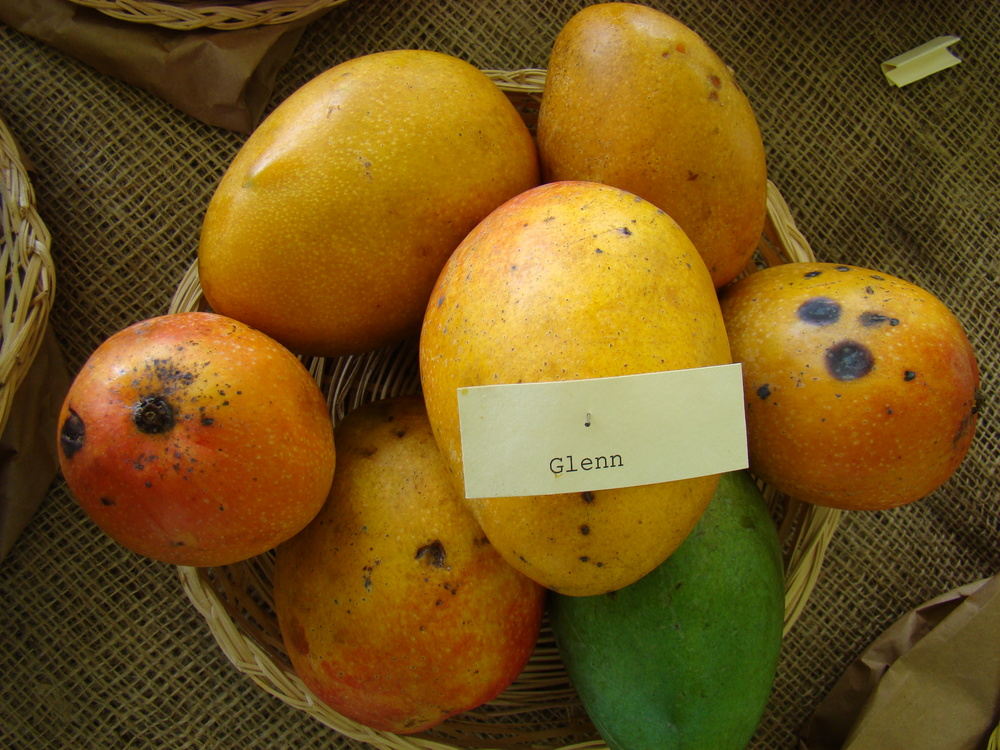 mango glenn2.jpg