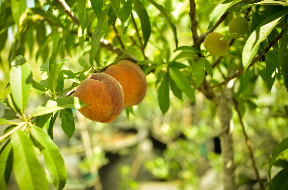 florida-prince-peach