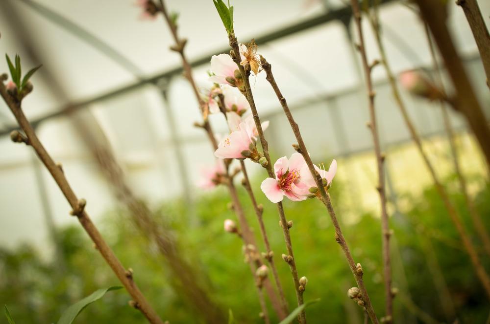 Peach-0598.jpg