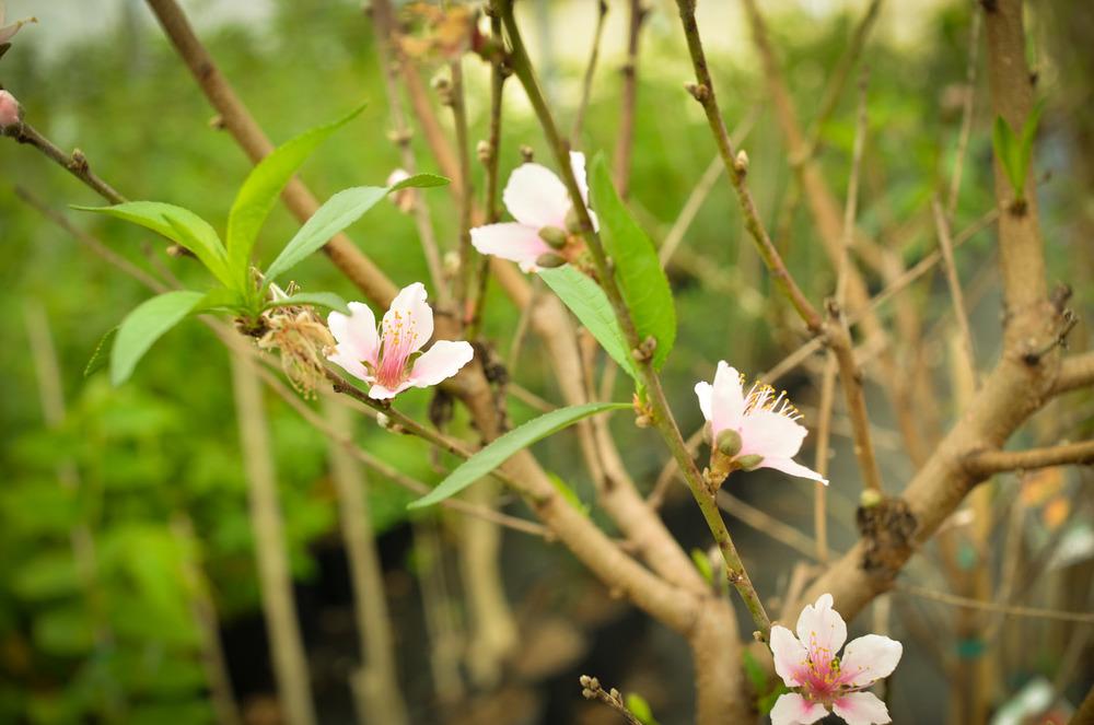 Peach-0603.jpg