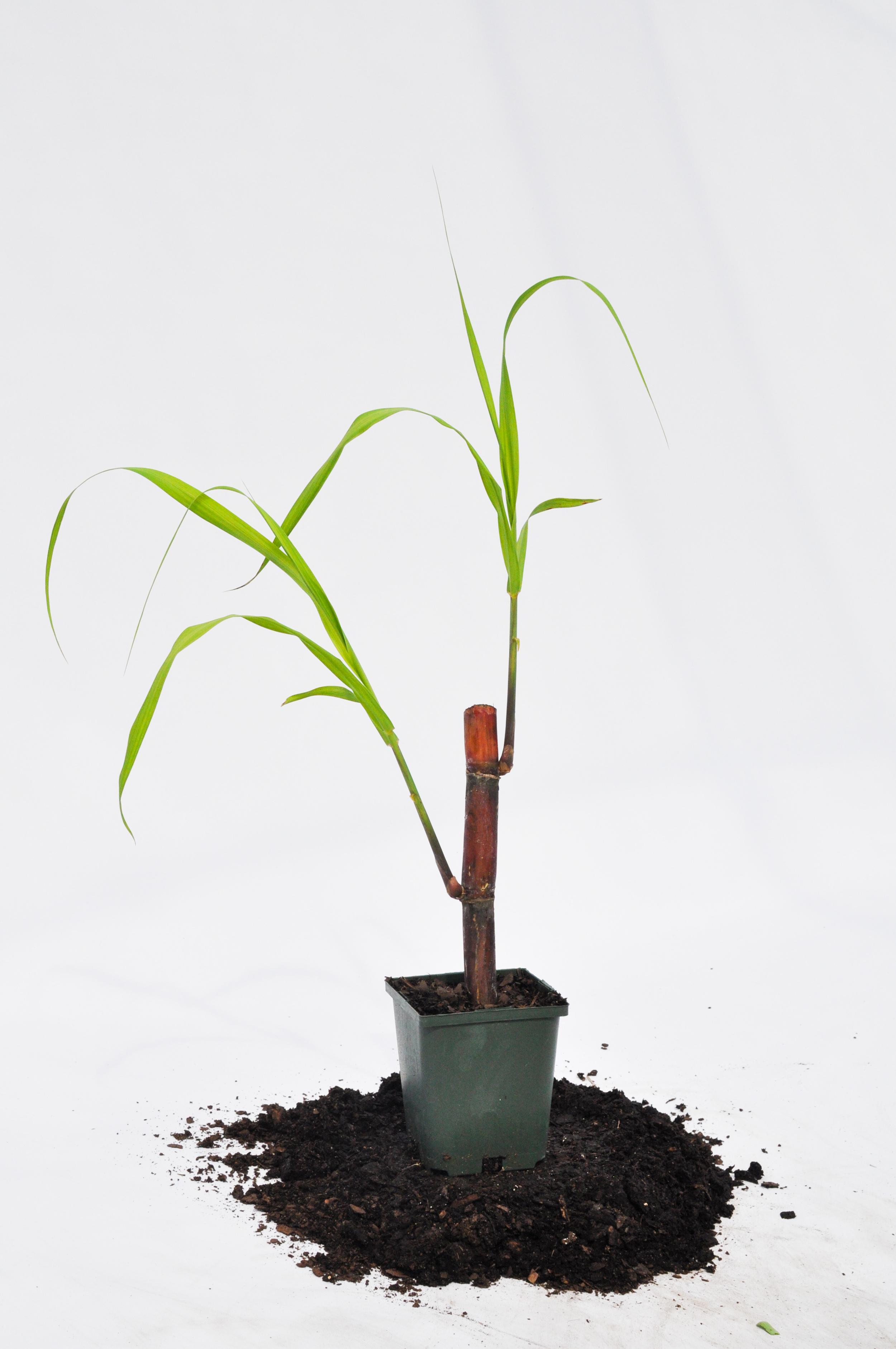 "Picture of Fresh, Oganic Sugar Cane - Saccharum officinarum - Live Plant Fit 4"" Pot"
