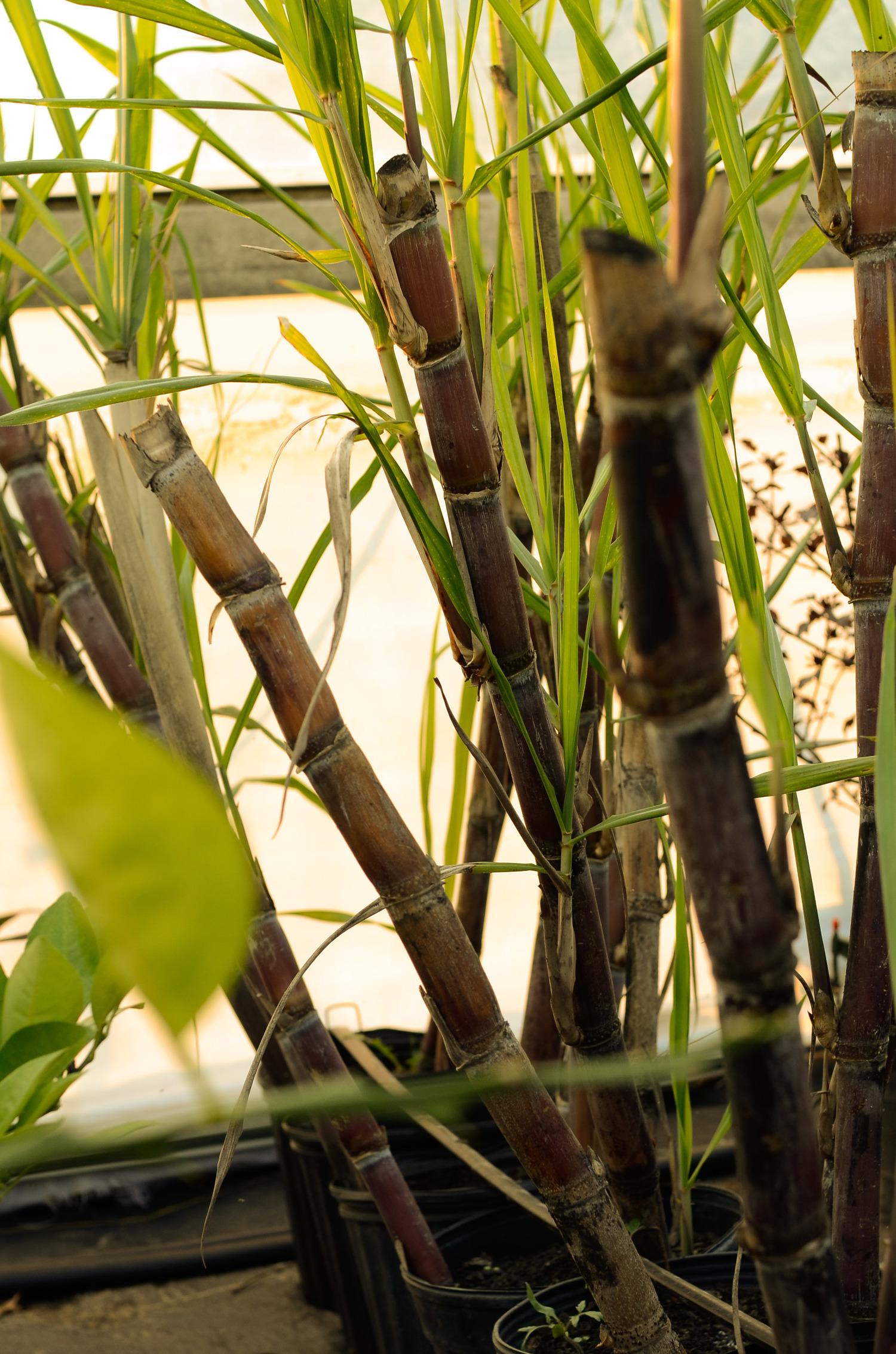 Picture of Fresh, Oganic Sugar Cane - Saccharum officinarum - Live Plant Fit 1 Gallon Pot