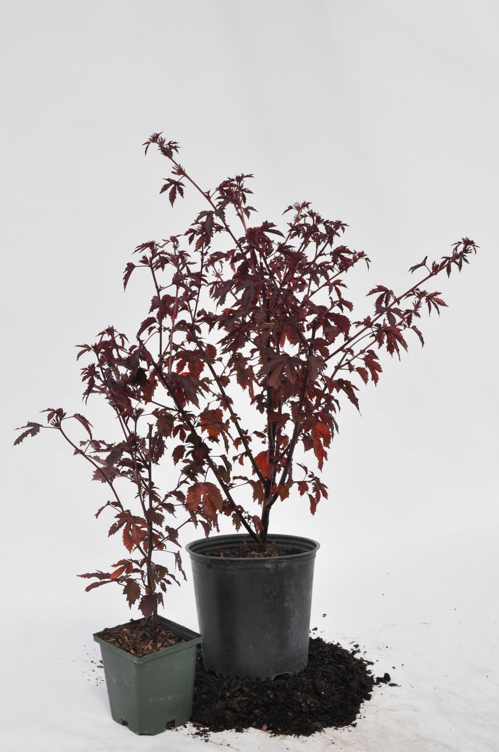 cranberry hibiscus-432.jpg
