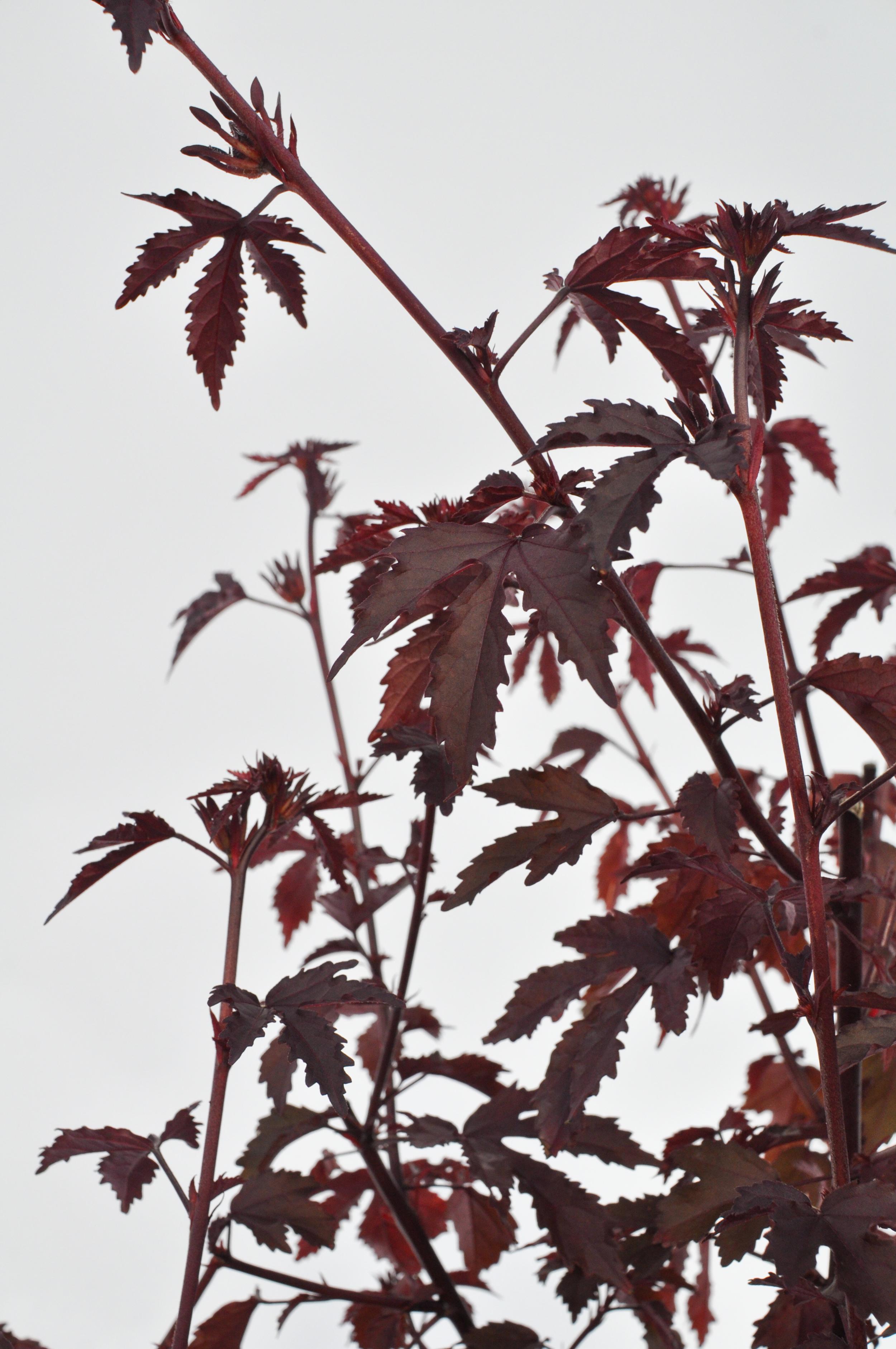 Cranberry Hibiscus A Natural Farm