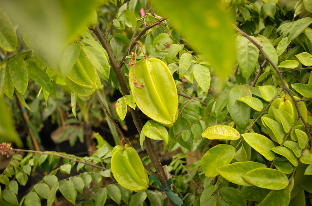 Star Fruit Carambola-036.jpg