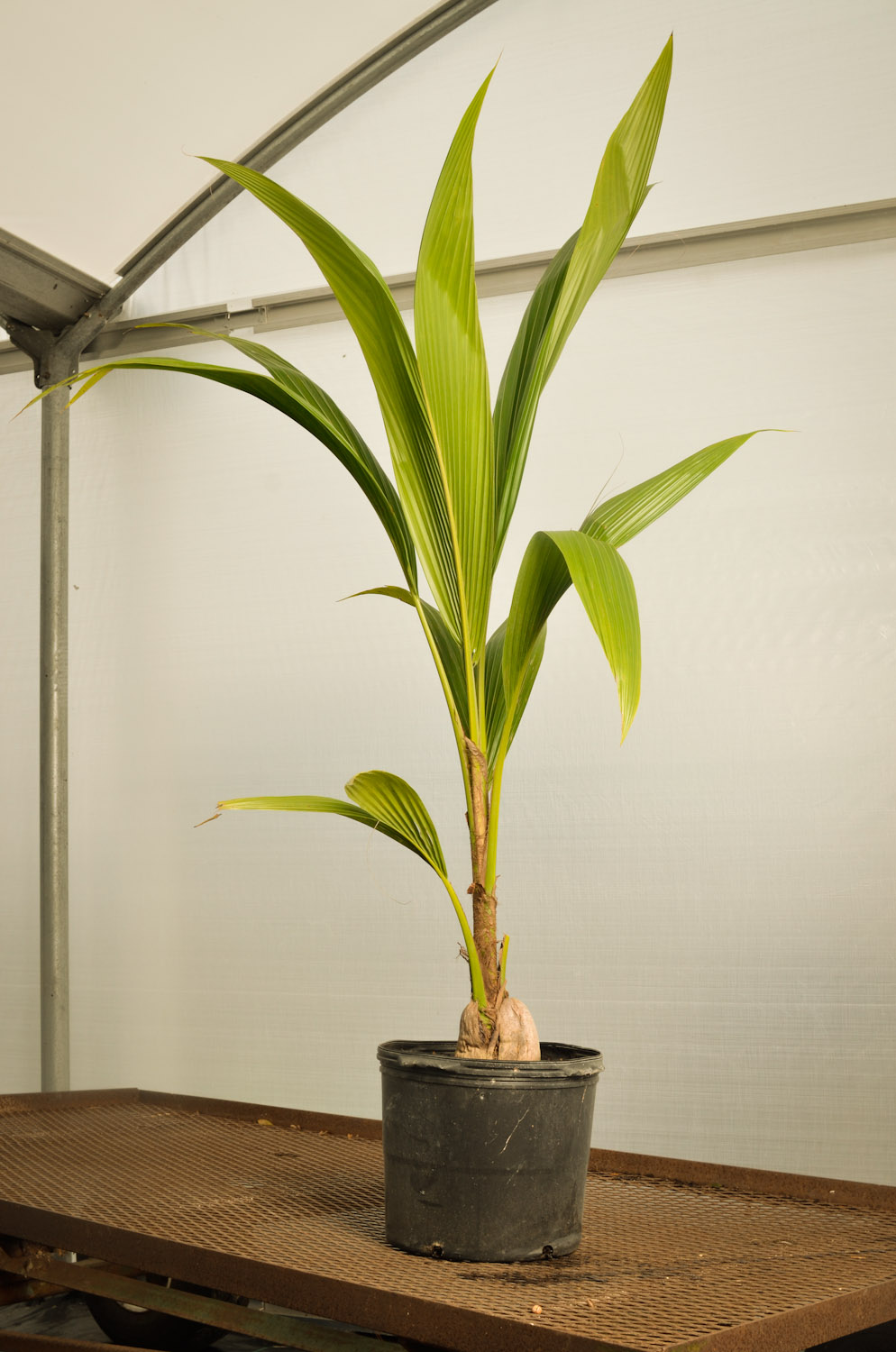 Coconut-palm potted.jpg