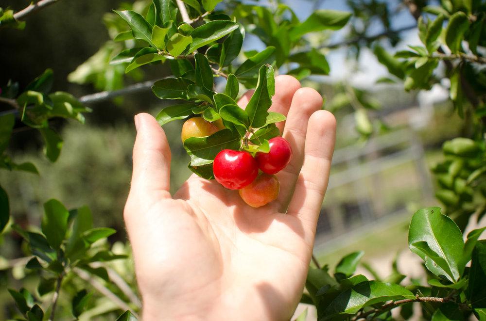 barbados cherry fruit-6046.jpg