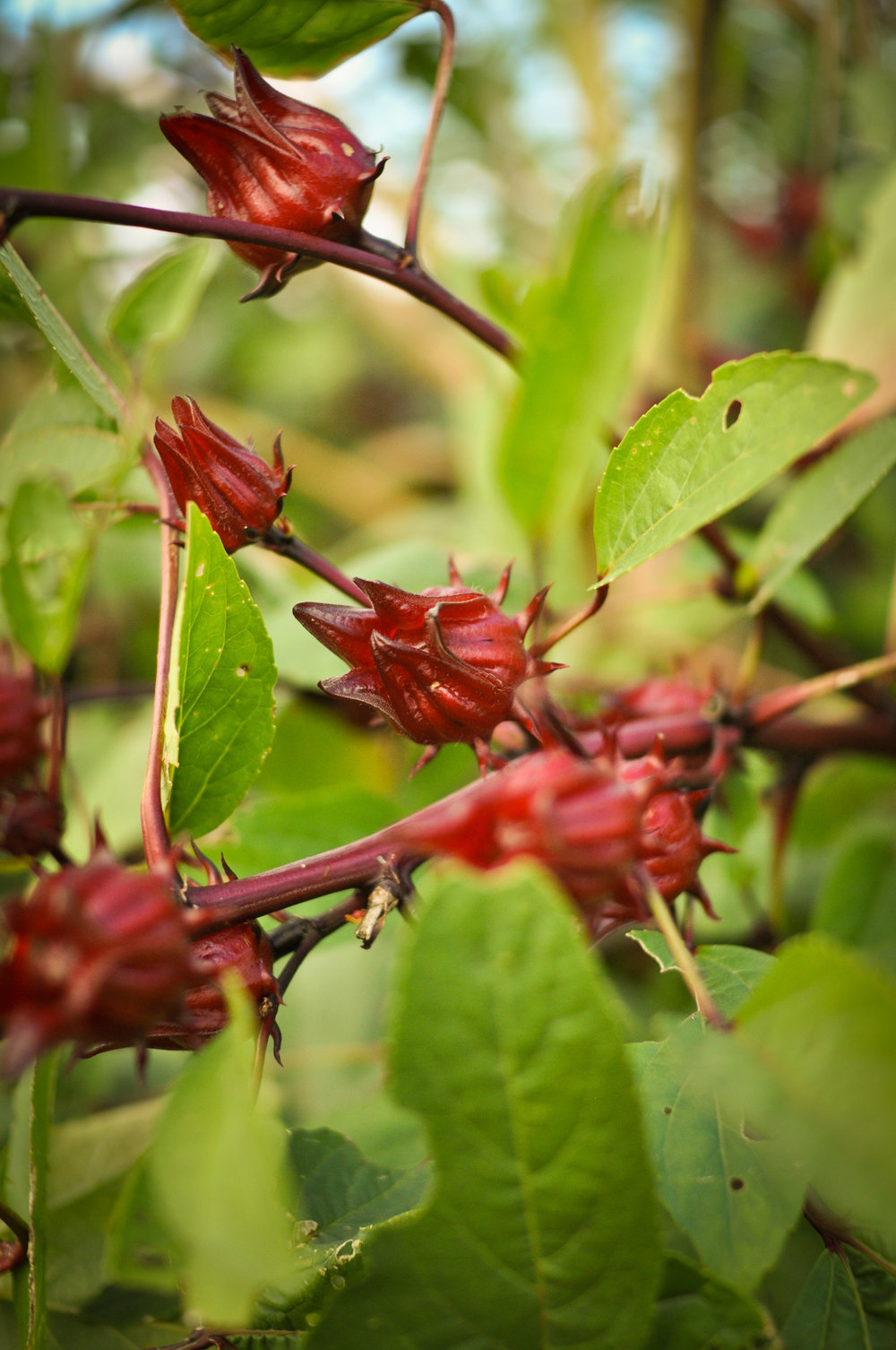 Roselle Jamaican Sorrel A Natural Farm