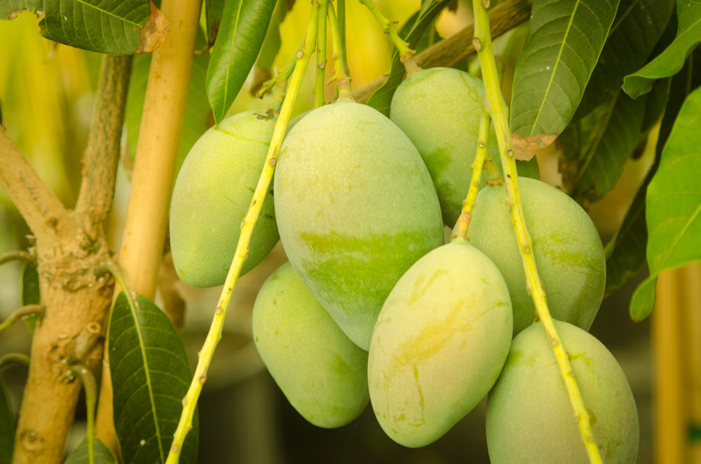 mango tree grafted a natural farm