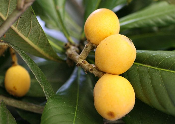 Grafted Loquats Available
