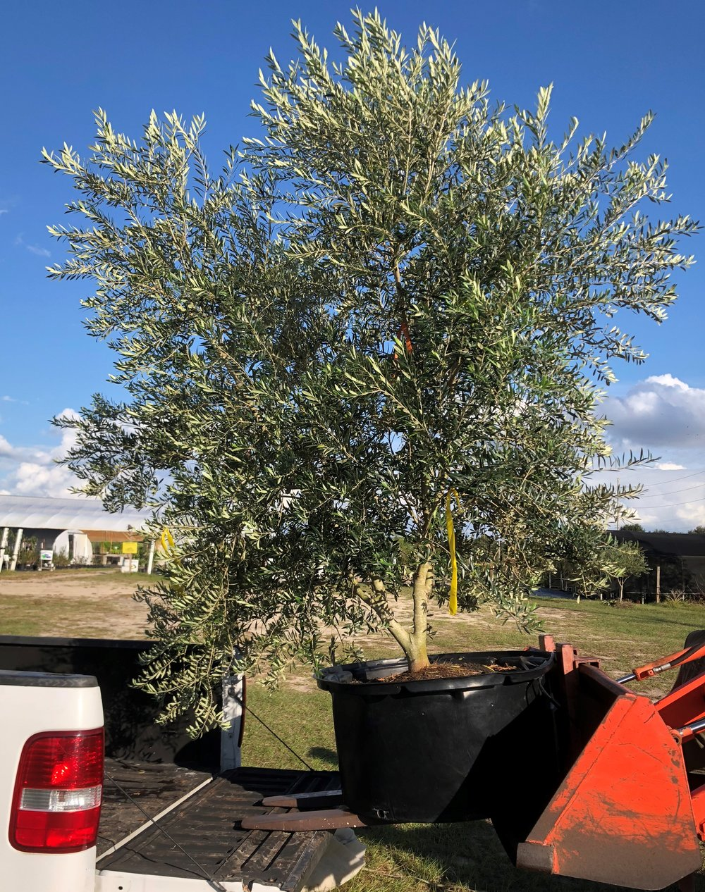 Olive trees from 1 gallon to 150 gallon pots