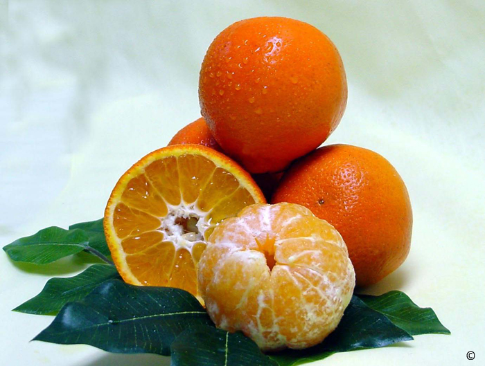 Sugar Belle Mandarin: hybrid of Sweet Clementine and Minneola varieties. UF/IFAS File Photo.