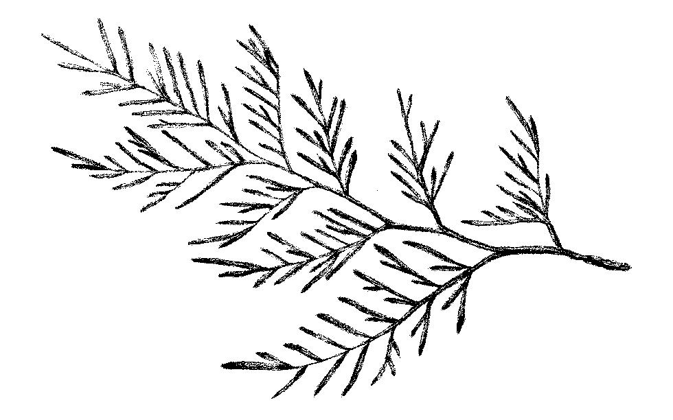 Cedar-02.jpg