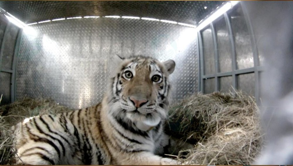 Zolushka, the rescued tiger