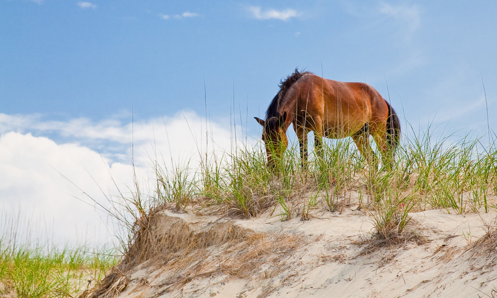 Wild horses at the Outer Banks